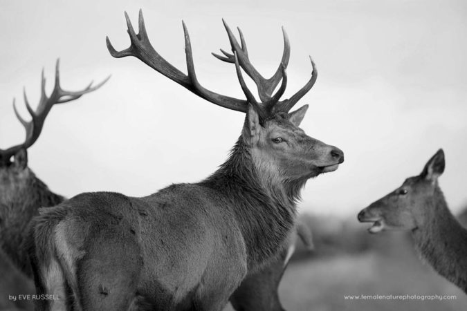 Black and White Stag