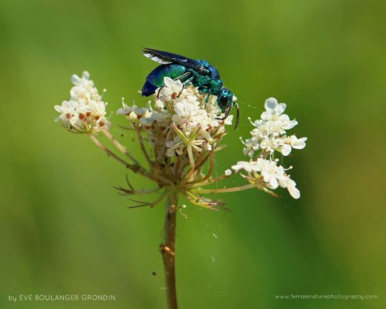 Cuckoo wasp (Chrysididae), Parc des Rapides (Montreal - Quebec, Canada)