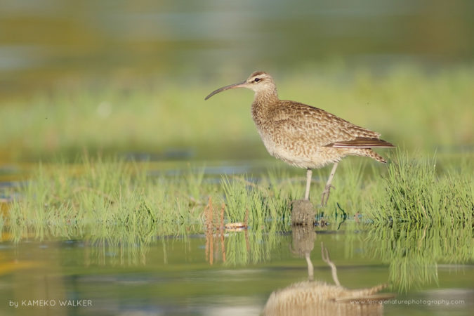 A Whimbrel standing atop a piece of driftwood