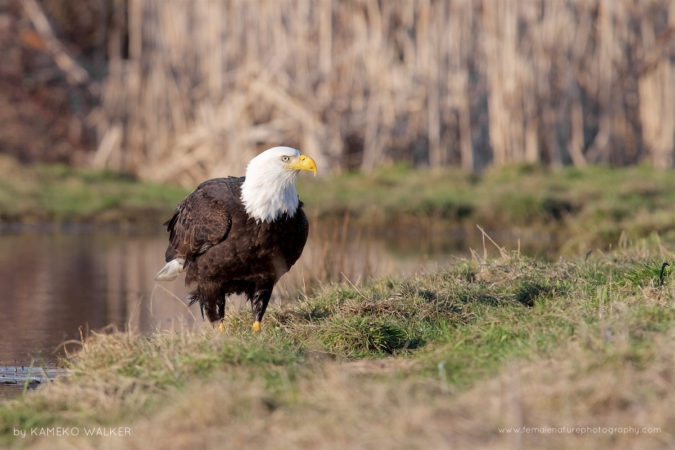 An adult Bald Eagle visiting a pond for a quick bath