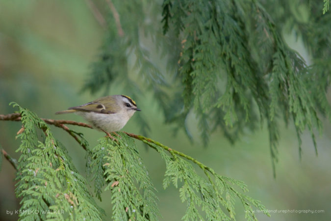 A Golden-crowned Kinglet perched on a cedar tree