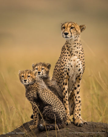 Cheetah Lookout Cheetah and Cubs, Maasai Mara, Kenya