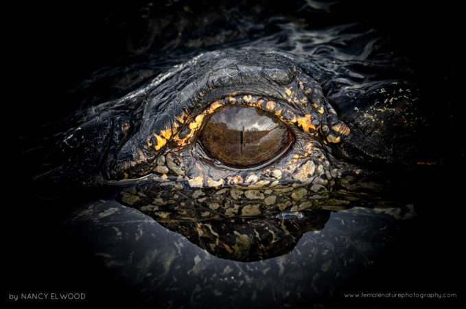 Gator Eye - Apopka, Florida