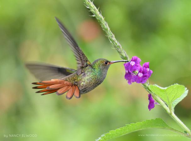 Rufous-tailed, Hummingbird, Costa Rica