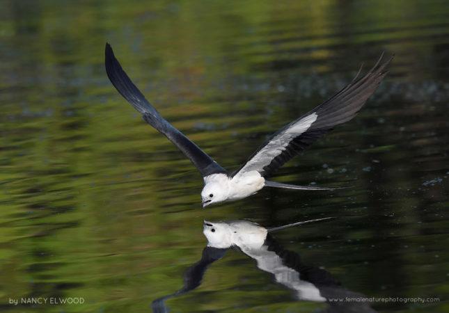 Swallow-tailed Kite Florida