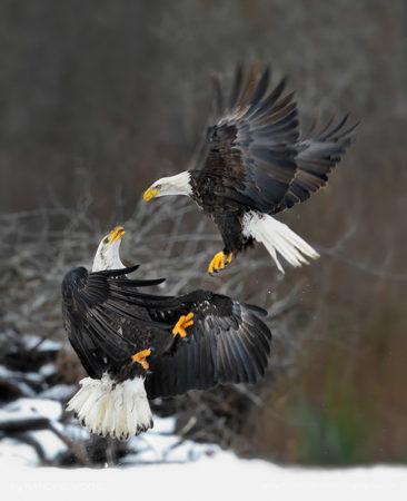 Battling Eagles Skagit River, Washington State
