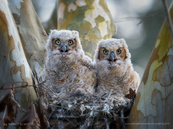 Great Horned Owlets Florida