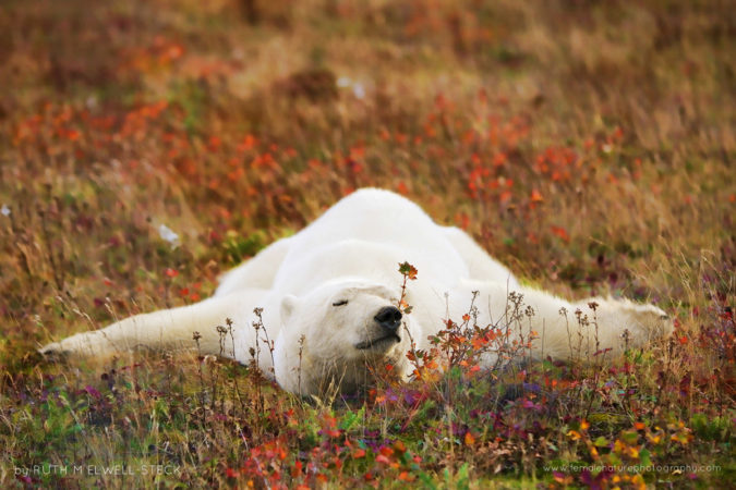 Relaxing on the Tundra Polar Bear in Northern Manitoba Canada