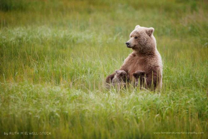Nursing Mama Coastal Brown Bear in Lake Clark National Park, Alaska