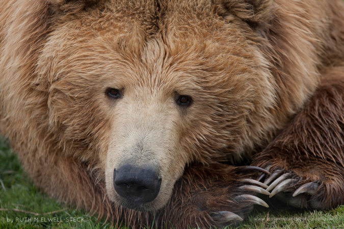 Sandy Claws Brown Bear in Lake Clark National Park, Alaska