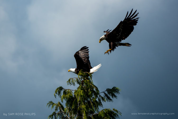 Bald eagles battling for the same perch by Tofino Harbour, British Columbia