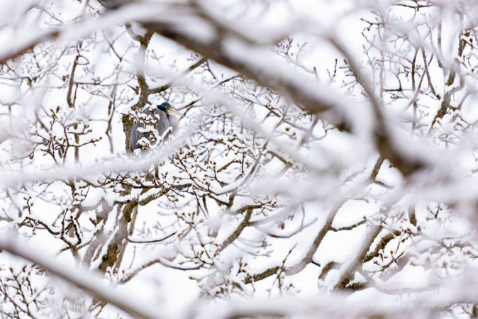 A Great Blue Heron sits nestled among the snowy branches above Swan Lake in Victoria, British Columbia