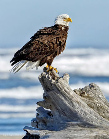 Elegant Coastal Raptor Beautiful Bald Eagle on a big driftwood perch along the ocean in the Pacific Northwest US
