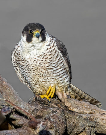 After The Rain Peregrine Falcon perched on driftwood along the beach after a rain storm in the Pacific Northwest US