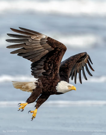 Amazing Bird Of Prey Bald Eagle flying over the surf in the Pacific Northwest US