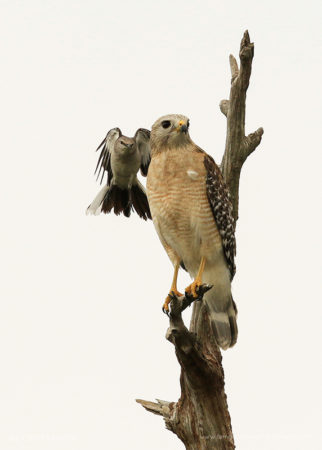 Incoming! A Northern Mockingbird attempts to drive away a perceived threat, a Red-shouldered Hawk, from its nesting site