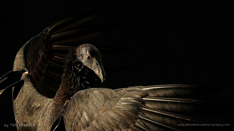California Condor Portrait- Critically endangered California Condor L3 at five years old living wild and free, warming her wings in morning sunlight