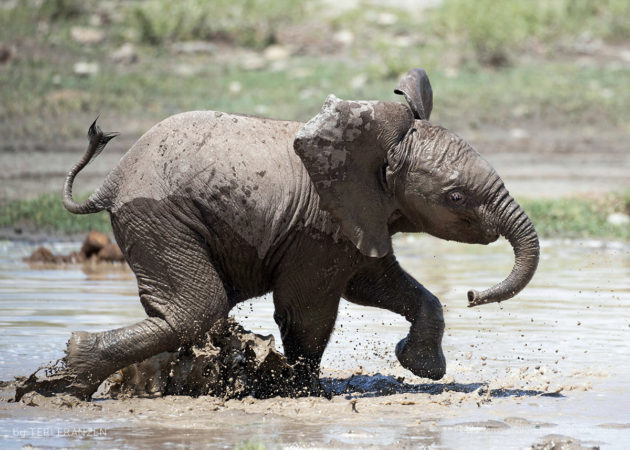 Pure Joy A young Elephant romps in the water one hot morning in Ndutu