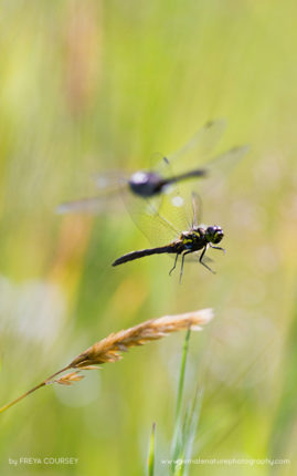 Hawker dragon flies