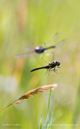 Hawker dragon flies
