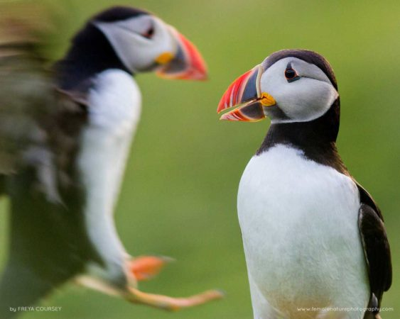 Atlantic puffins, Mingulay