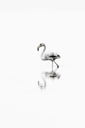 Flamingo in a river estuary, during a misty morning