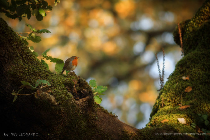 European Robin in a forest tree