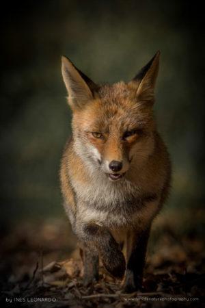 A curious wild fox.