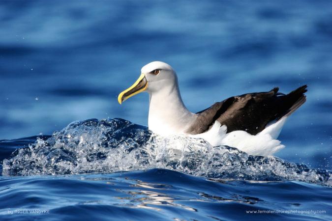 Buller's Albatross, Wollongong, Australia