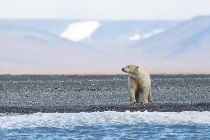 Polar Bear on Wrangel Island in the Arctic, Russia