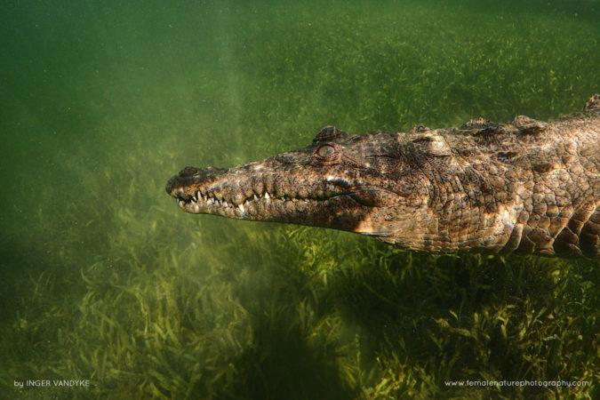 American Crocodile, Cuba