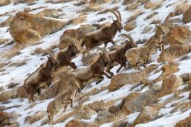 A herd of Siberian Ibex on the run in the Himalayan region of Ladakh, India