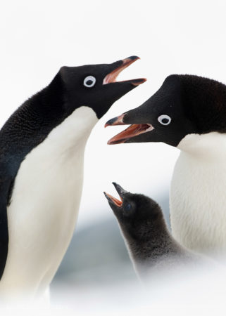 Adelie Penguin Family