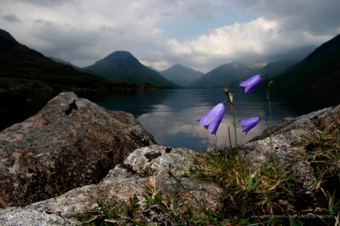 Harebells at Wastwater, Lake District, UK
