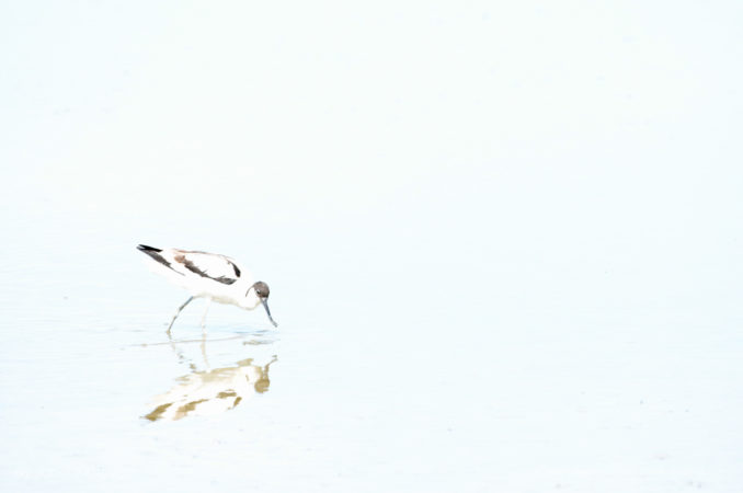 Over-exposed image of avocet feeding, Kent, UK