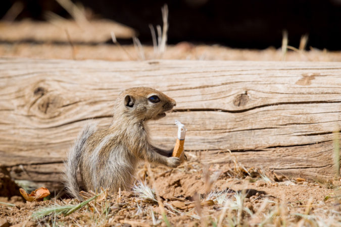 A baby San Joaquin antelope squirrel, an endangered species, discovered a cigarette butt in a parking lot. Unfortunately, toxic cigarette butts are a source of pollution for wildlife from deserts - where this squirrel lives - all the way to our oceans.