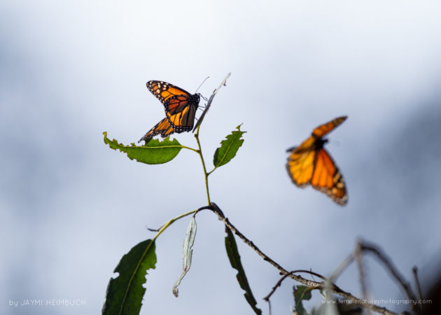 Monarch butterflies are in decline due to habitat loss, pesticide use, and the loss of milkweed. Monarch butterflies have an annual migration that takes four generations of the insects to complete.