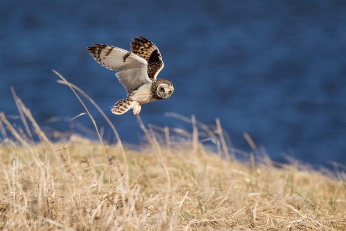 A short-eared owl hovers over the dry tundra grass, hoping to catch an arctic ground squirrel as a meal.