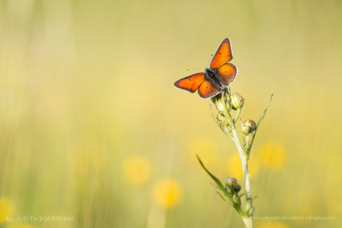 Red copper butterfly