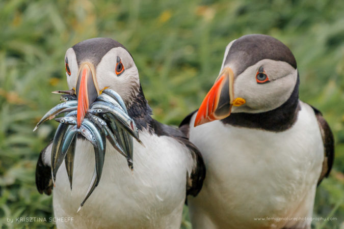 Puffins on Isle of Lunga, Scotland