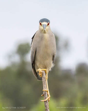 Black crowned night heron on Lake Hodges