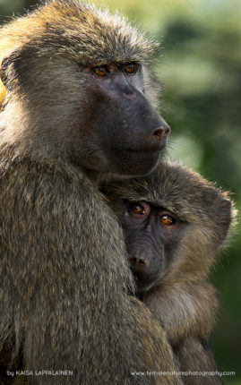 Baby baboon finds comfort in his mother's arms in Kenya