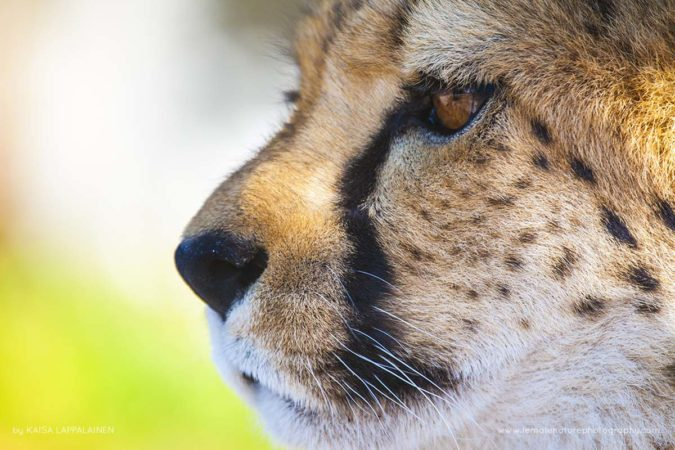 A portrait of a young cheetah in Namibia