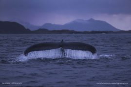 Humpback whale showing off his beautiful tail in Norway