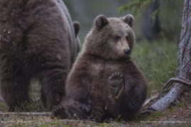 A 2-year-old brown bear cub doesn't stay far from his mom