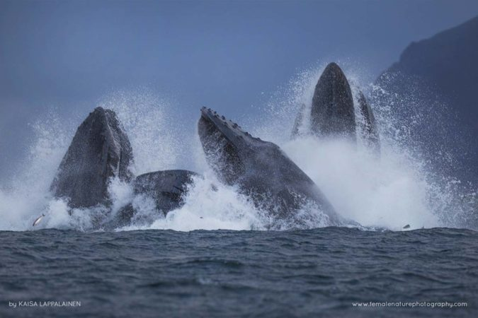 Humpback whales having a feast with herrings in Norway