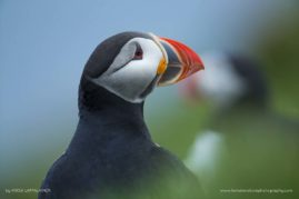 Photogenic puffins building up their nests and watching oyt for invaders in Iceland