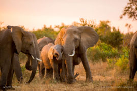 Elephants in the Kruger Park at dusk