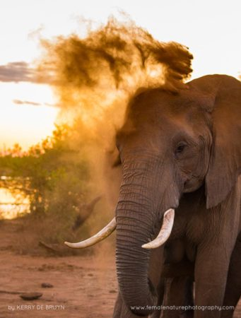 An elephant takes a dust bath in the Kruger Park