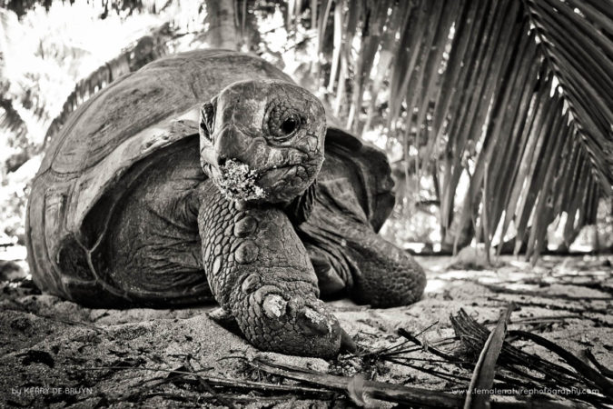 A giant aldabra tortoise looks on. Photographed on Denis island, Seychelles